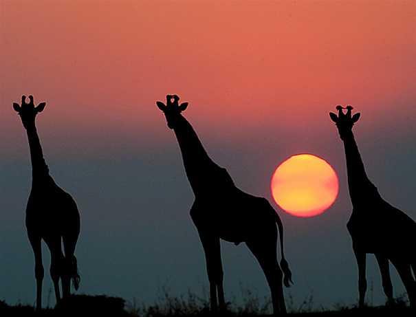 Giraffes Elephant Plains