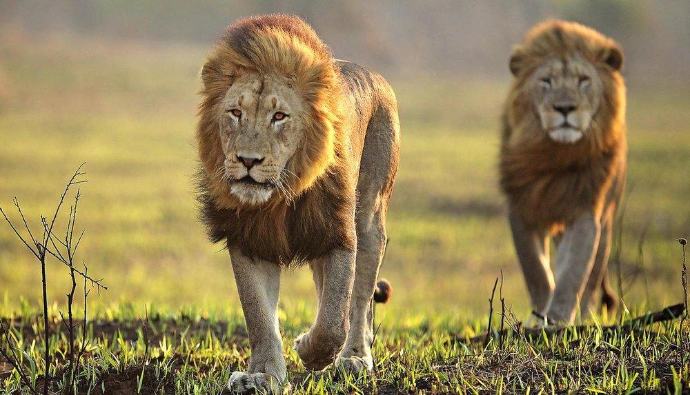 Lions en plaine Réserve Privée de Phinda