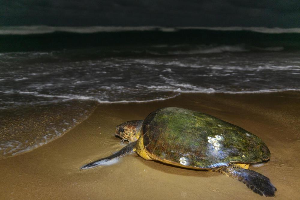 Tortue de nuit Thonga Beach Lodge