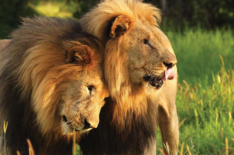 Lions Madikwe Hills