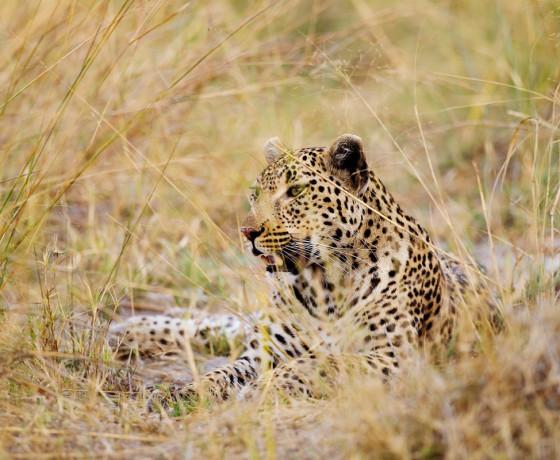 Léopard dans le Bush Shinde