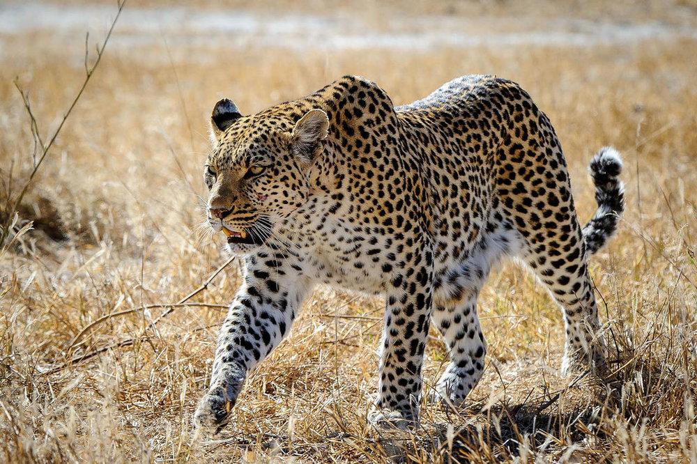 Léopard dans le bush Mombo Camp