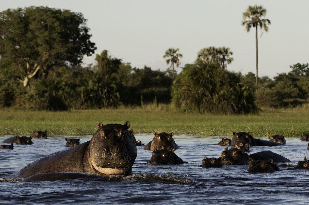 Hippopotames Mombo Camp