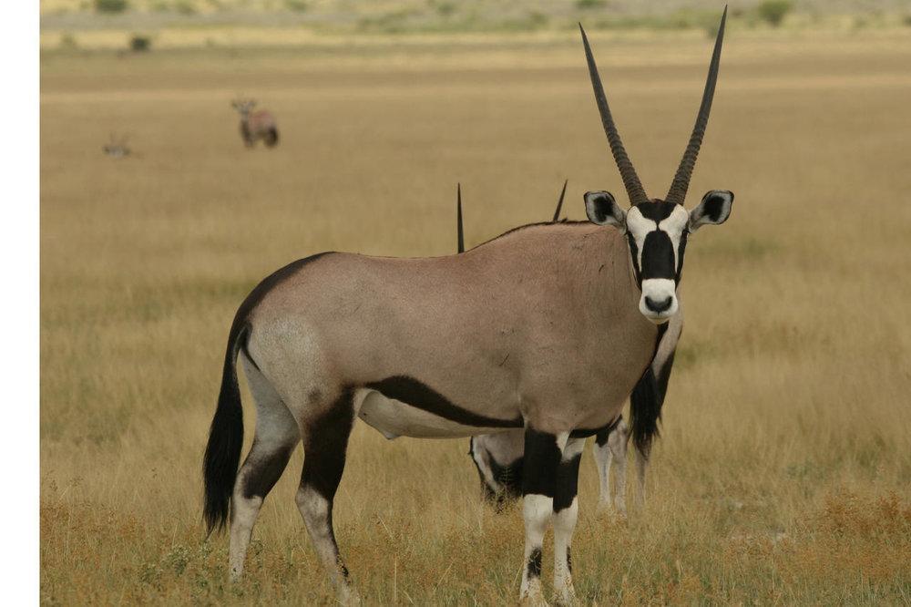 Oryx Tau Pan