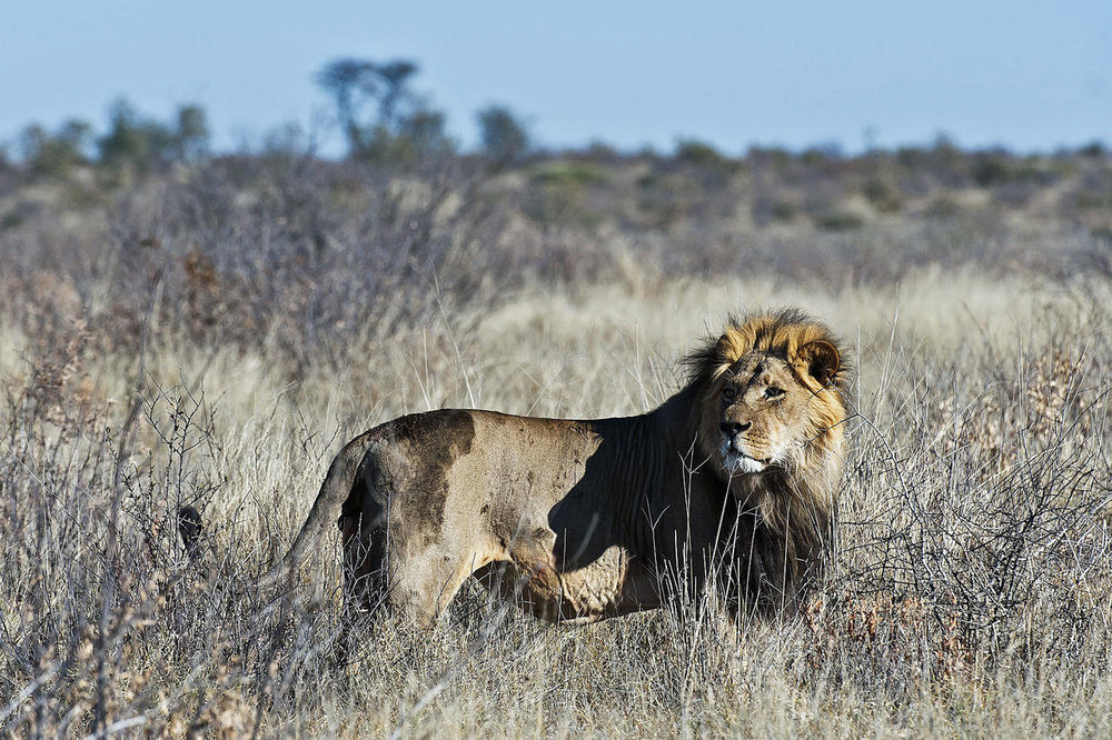 Lion Kalahari Plains Camp