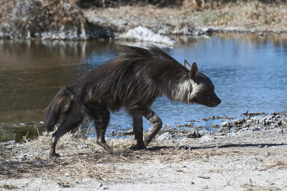 Hyène Kalahari Plains Camp