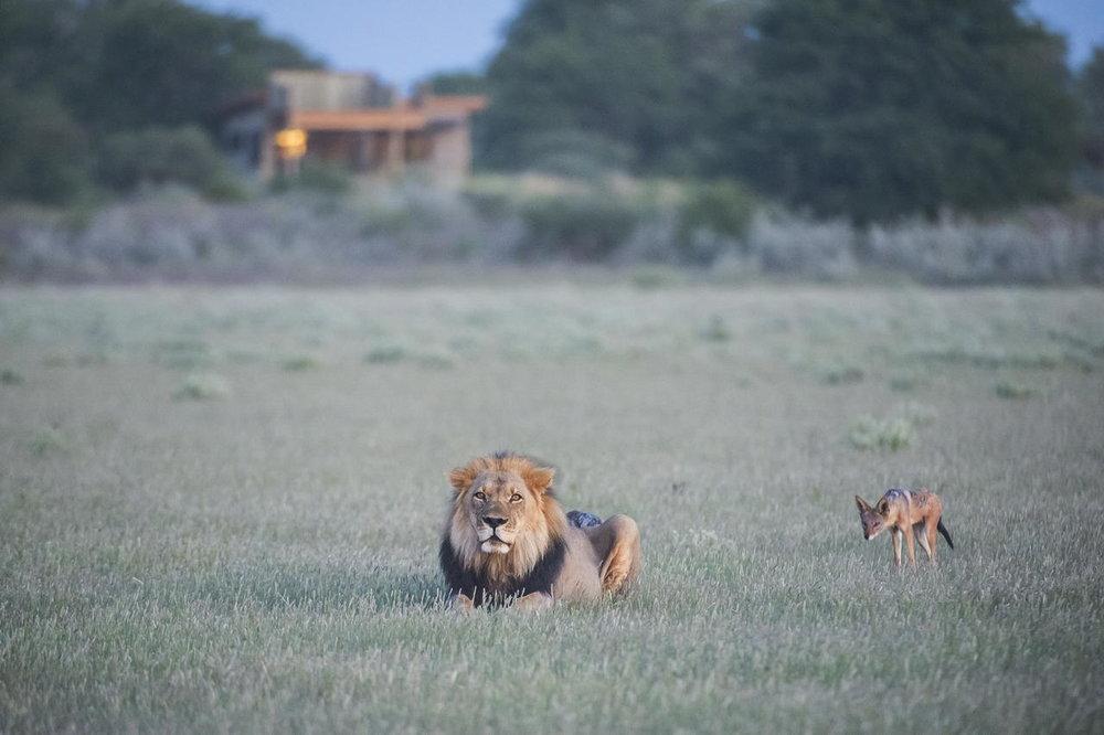 Lions devant lodge Kalahari Plains Camp
