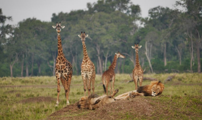 Lion devant Giraffe Governor's Camp