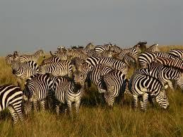 Troupeau de zèbres Rekero Mara Camp