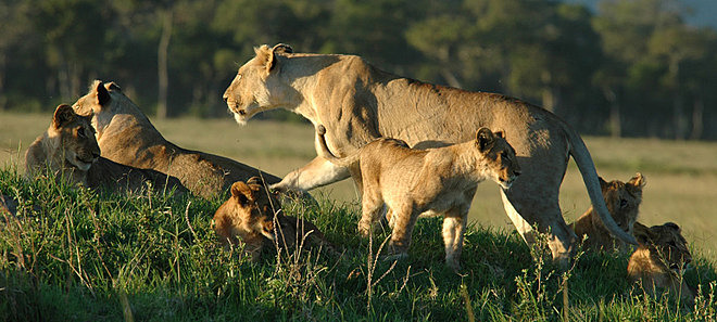 Famille de lions Speke's Camp