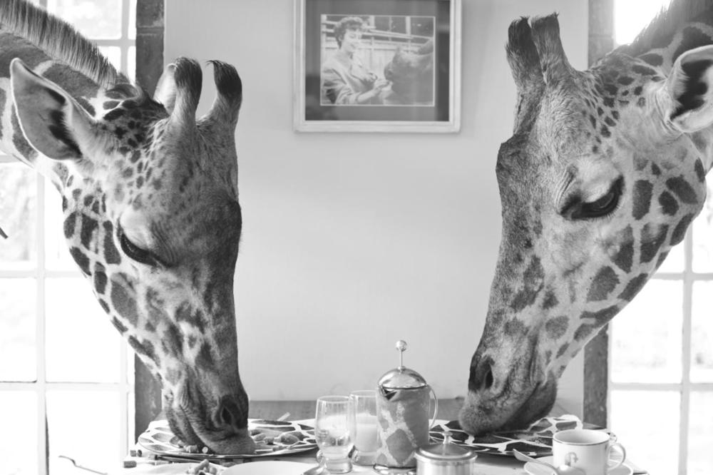 Giraffes Giraffe Manor