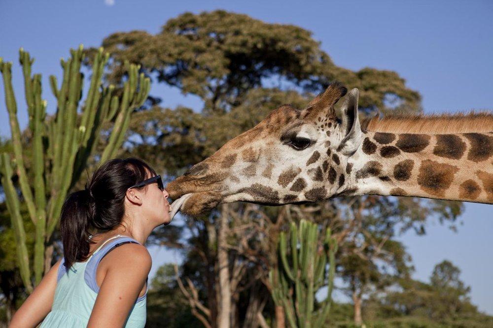 Giraffe Giraffe Manor