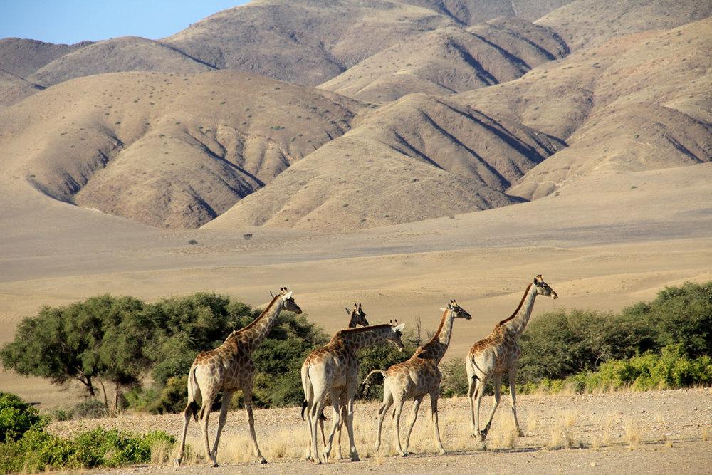 Giraffes du désert Okahirongo Elephant Lodge