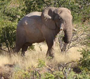 Eléphant du désert Grootberg Lodge