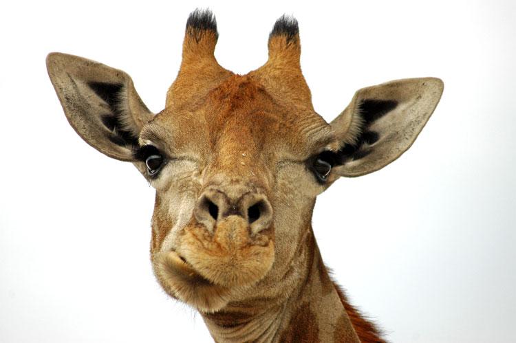 Giraffe Onguma Tree Top Camp
