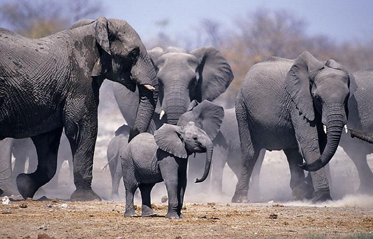 Troupeau d'éléphants Onguma Tree Top Camp