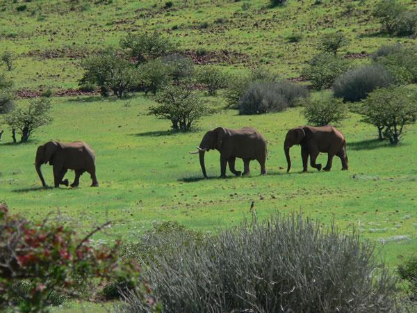 Troupeau d'éléphants Etendeka
