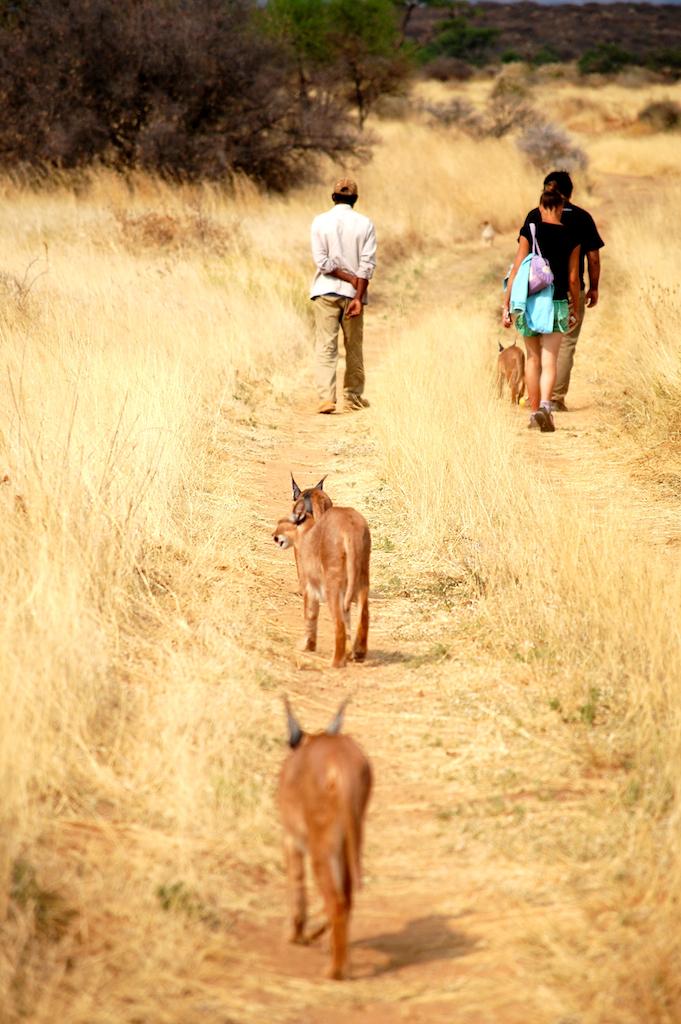 Promenade avec caracals Naankuse