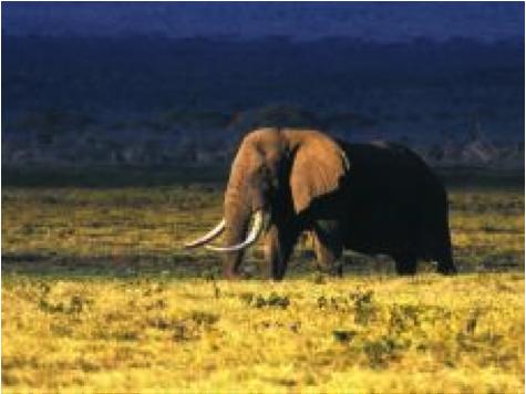 Eléphant Ngorongoro Crater Lodge