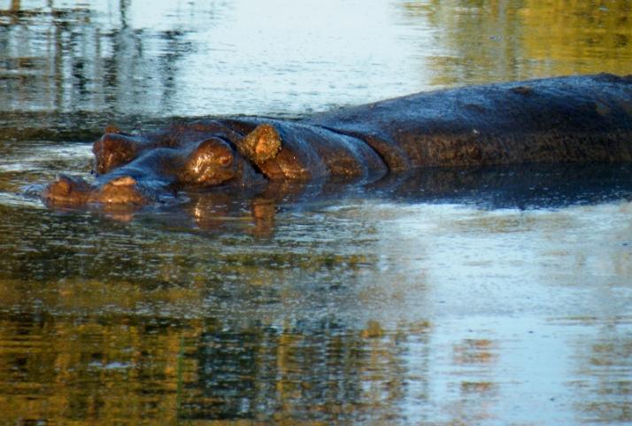 Hippopotame Lebala Camp