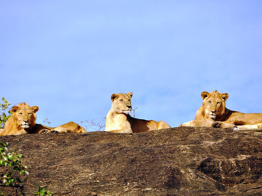 Groupe de lions Apoka Safari Lodge