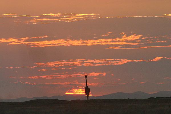 Safari Expérience authentique avec les Himbas - girafe