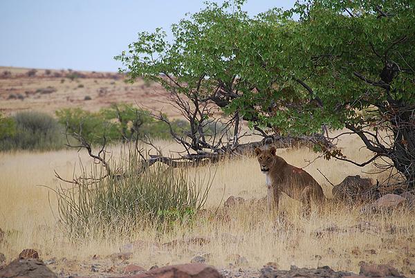 Safari Expérience authentique avec les Himbas - lion du désert