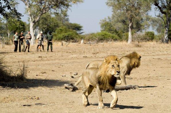 Safari Zambie et chute Victoria - lions à pied