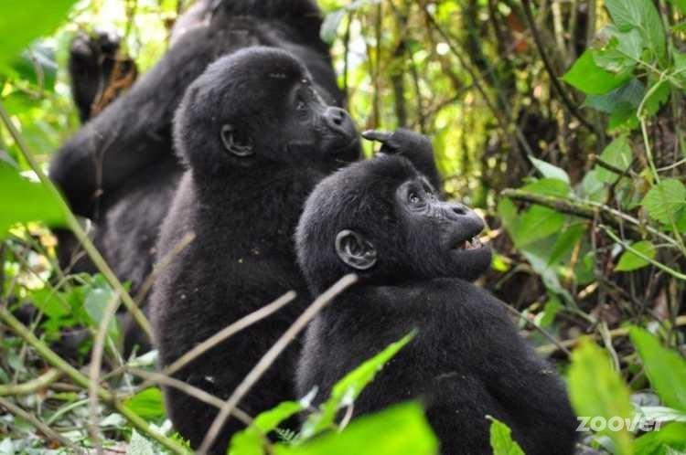 Chimpamzés Clouds Mountain Gorilla Lodge