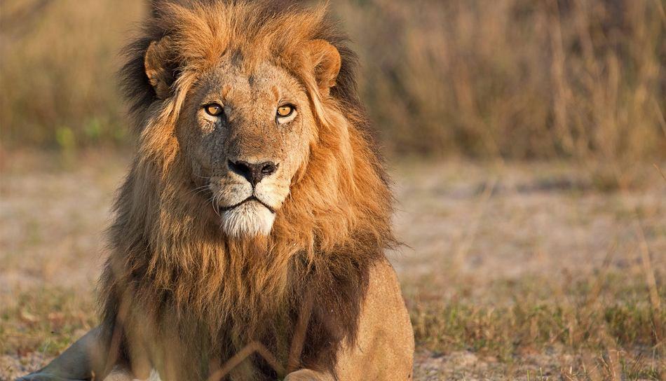 Lion au Matetsi River lodge