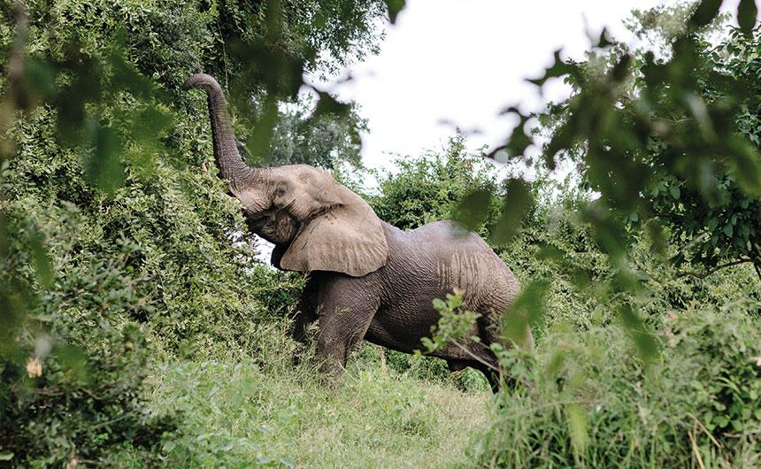 Eléphant au Chilo Gorge lodge
