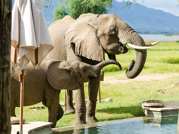 Eléphants s'abrevant à Ruckomechi