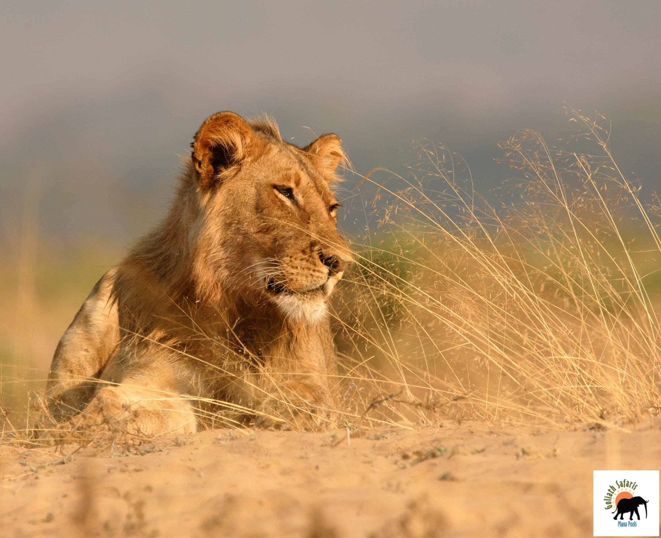 Lion au Goliath Safaris camp