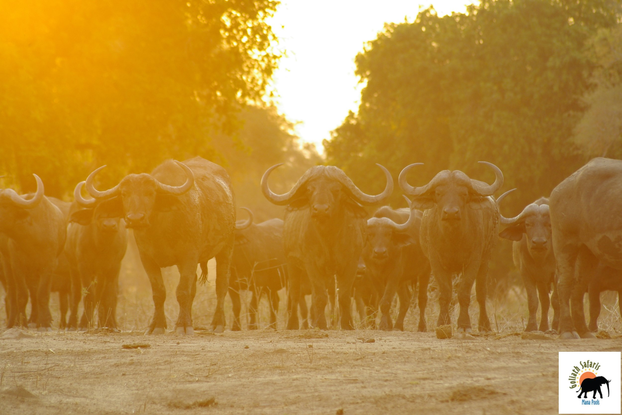 Buffles au Goliath Safaris camp