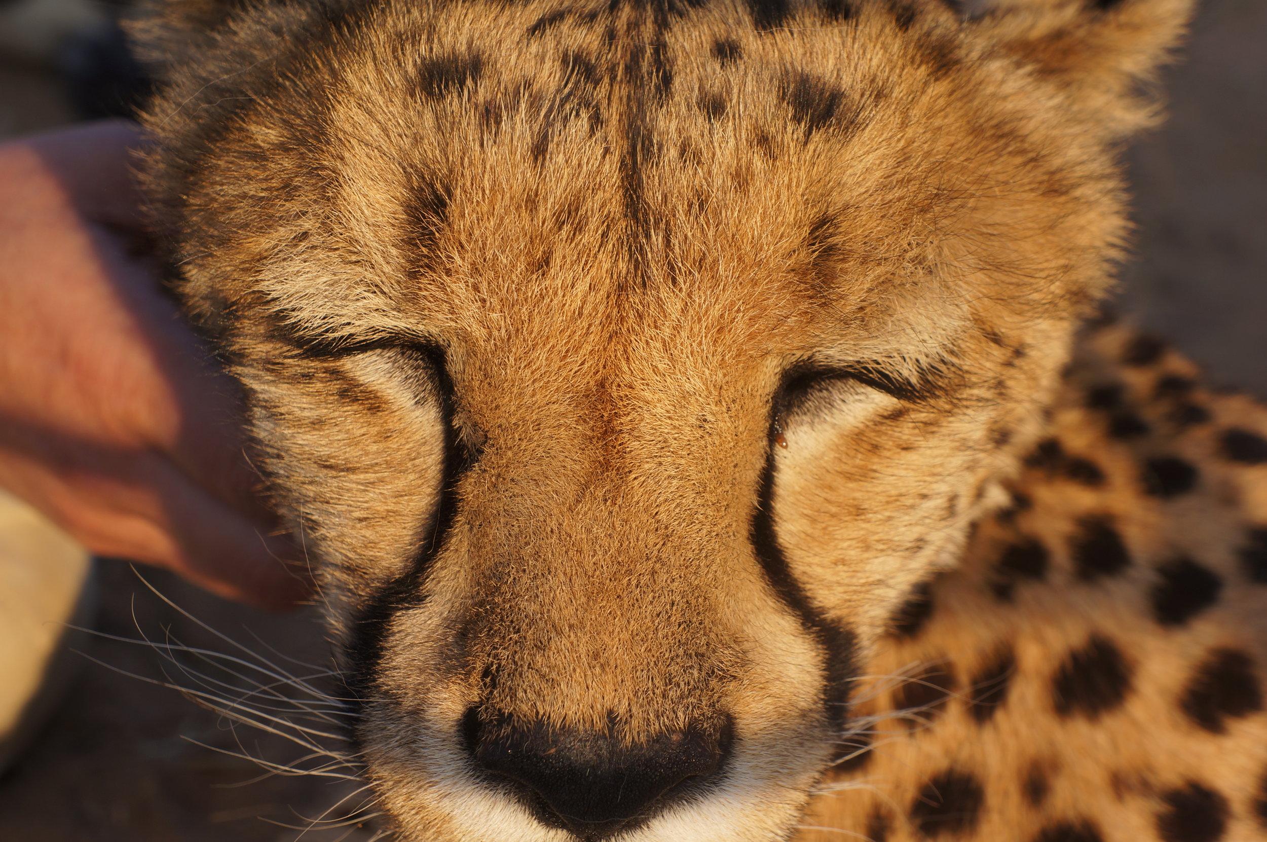 close up avec un guépard de Naankuse