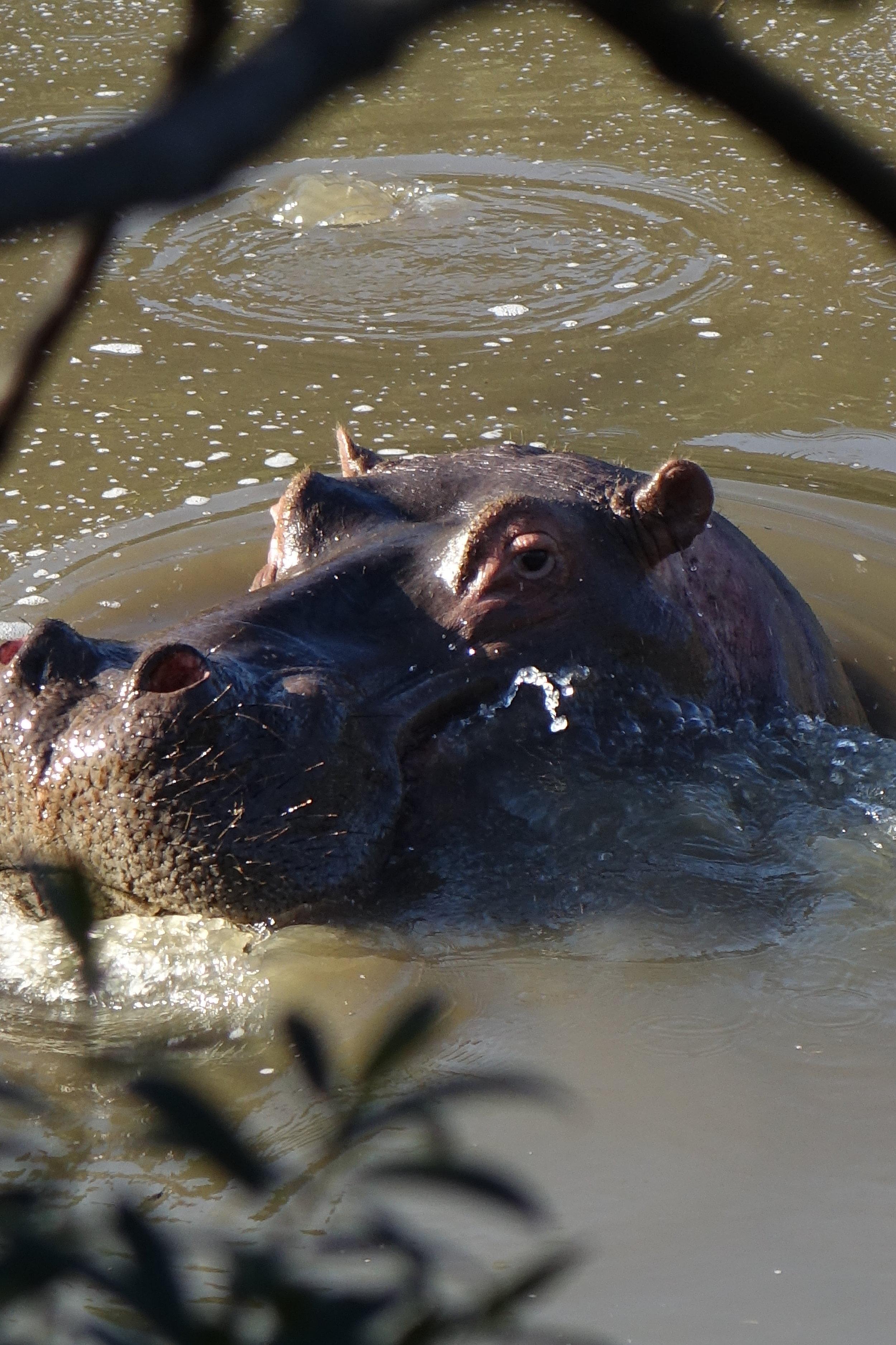 Safaris à pied ambiance Jurassique Parc - rencontre avec un hippo