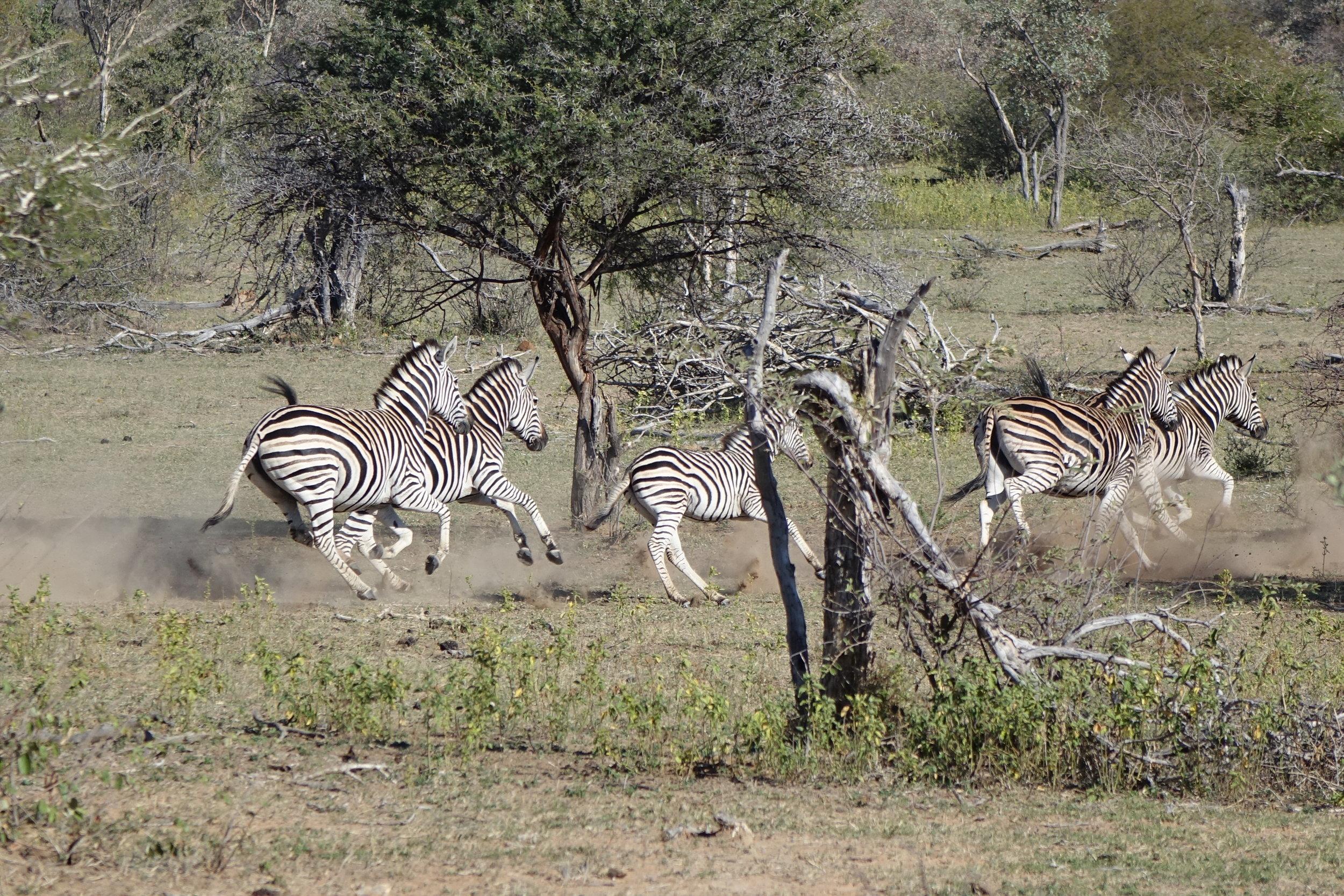 Safaris à pied ambiance Jurassique Parc - zèbres