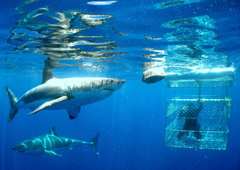 baleine et grand requin blanc - requin blanc proche d'une cage