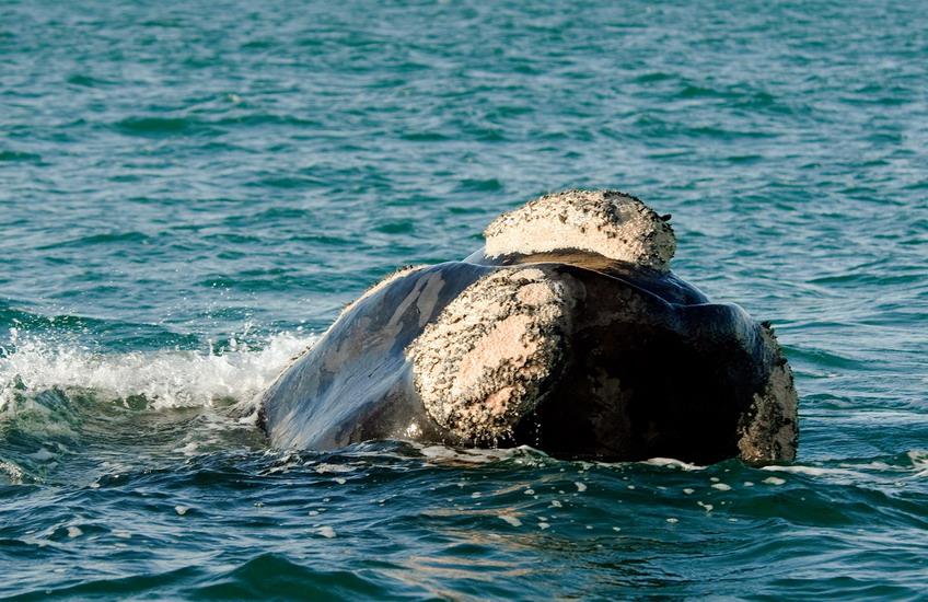 baleine et grand requin blanc - vue baleine