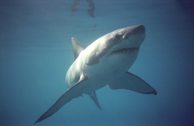 baleine et grand requin blanc - requin blanc
