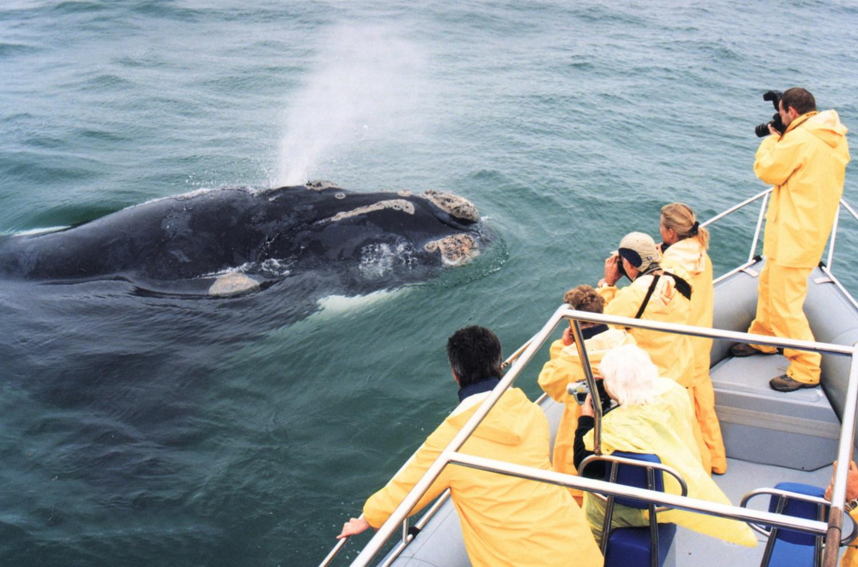 baleine et grand requin blanc - baleine depuis bateau
