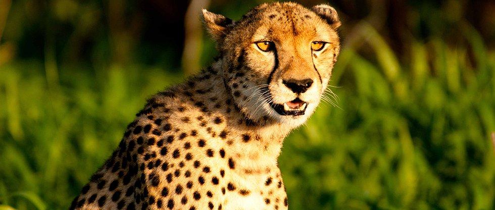 Safari à pied à Ruaha - guépard