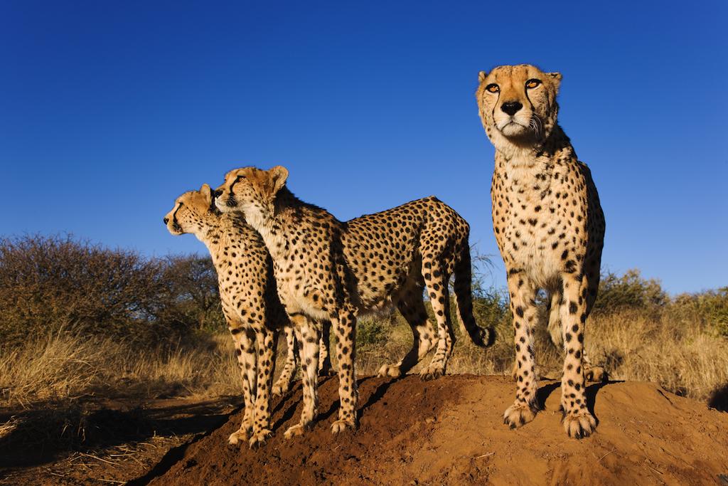 Safari Namibie Beauté Sauvage - guépards à Naankuse