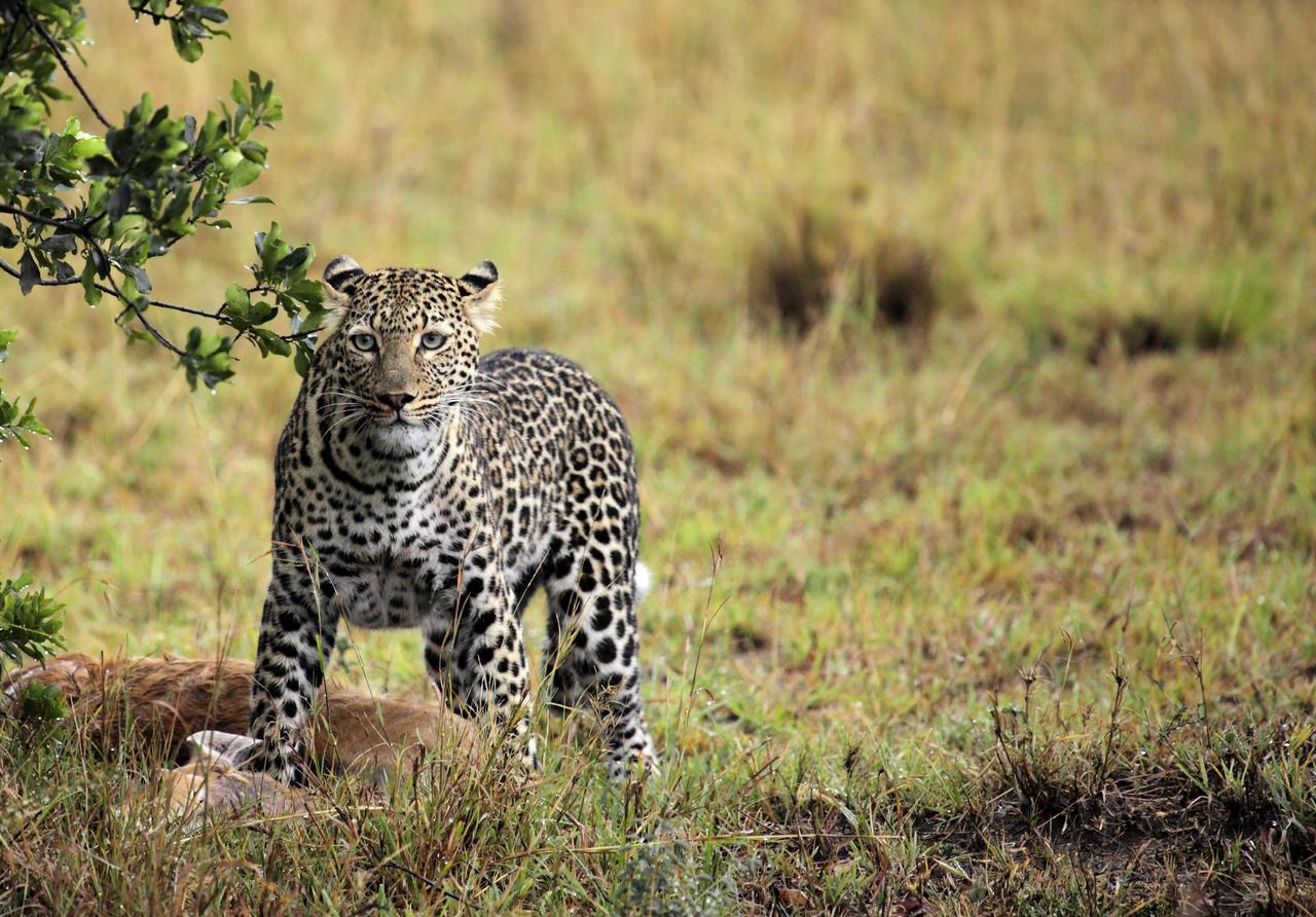 Léopard à Namiri Plains