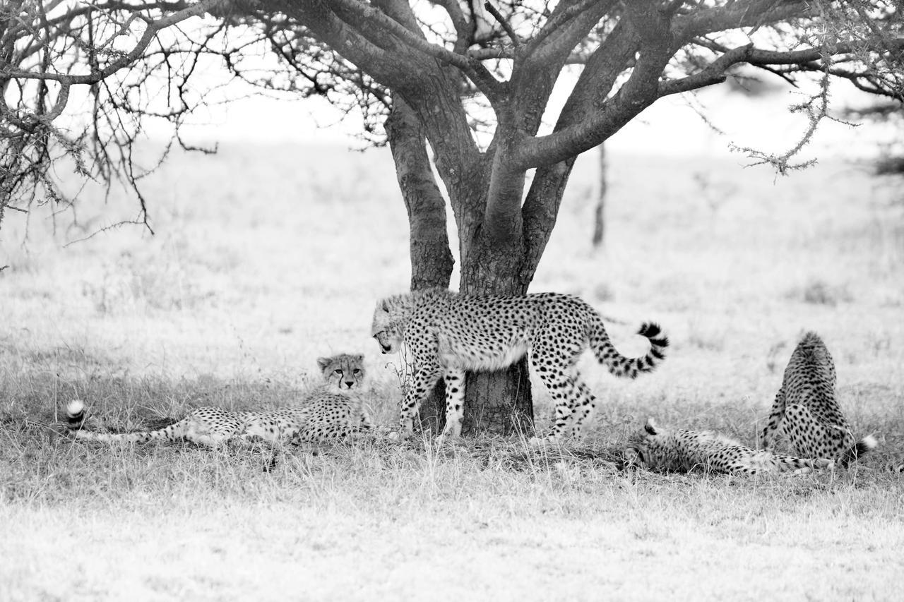 Safari 100% félins en Tanzanie - guépards à Namiri Plains