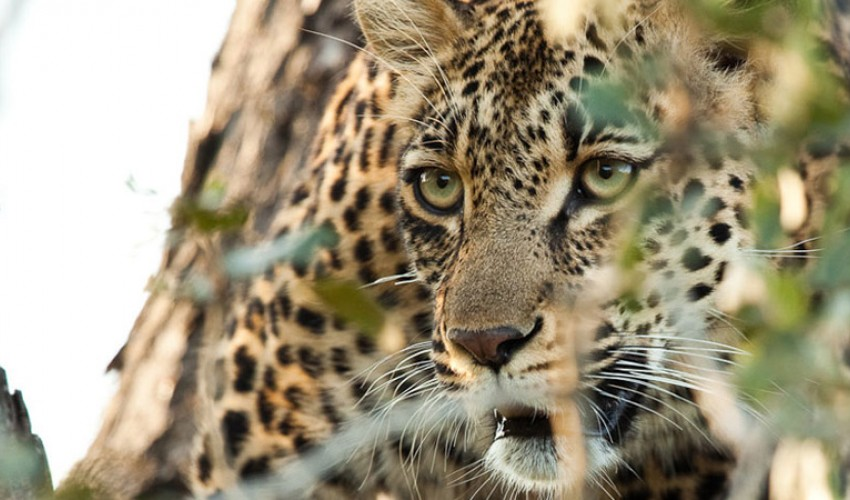 Voyage de noces Kruget et Seychelles - léopard à Chitwa