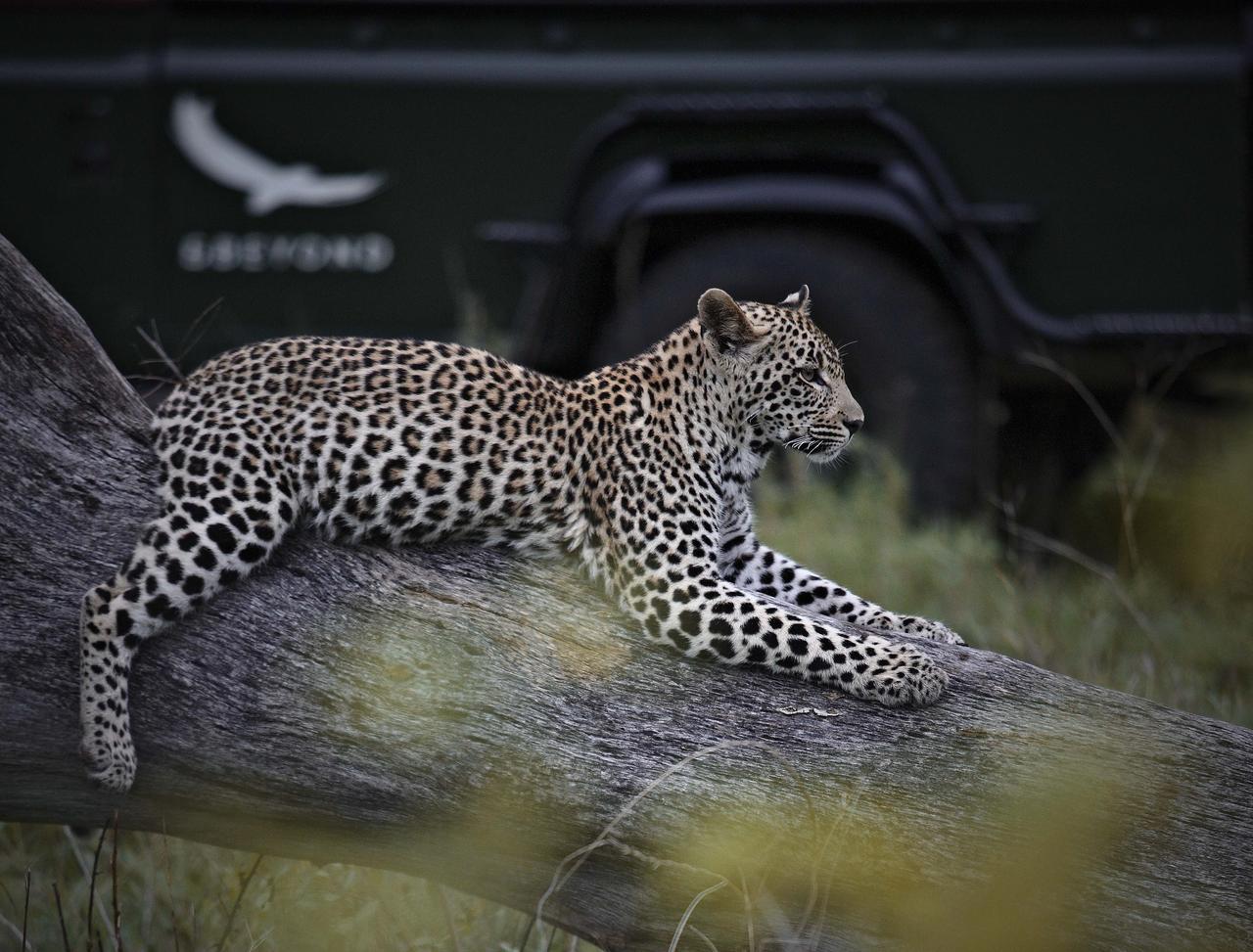 Voyage de noces Mozambique à la romantique - léopard au Kirkman's Kamp