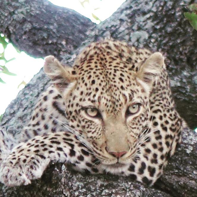 Léopard - Afrique du Sud