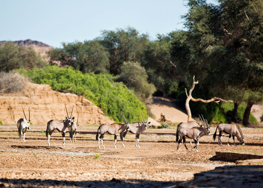 Hoanib-Valley-Camp-Wildlife-Oryx.jpg