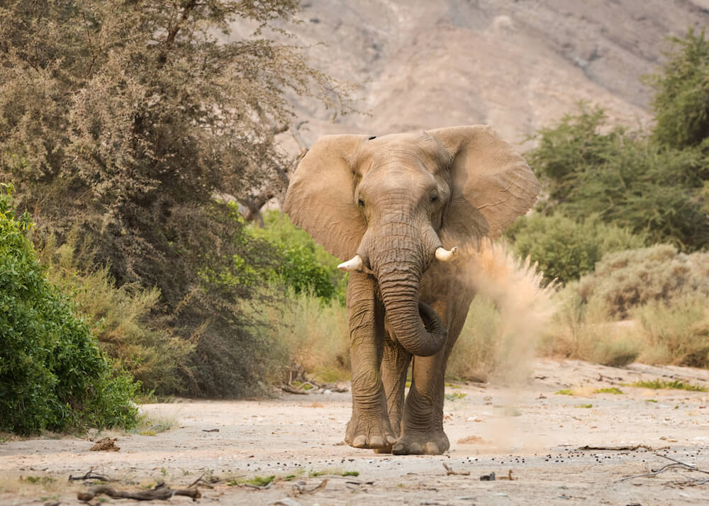 27Hoanib-Valley-Desert-Adapted-Elephant-Frontal.jpg